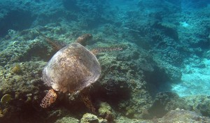 snorkeling with turtles gili trawangan